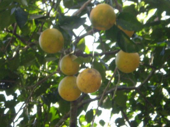Orangers au PARC NATIONAL EL CHOCO